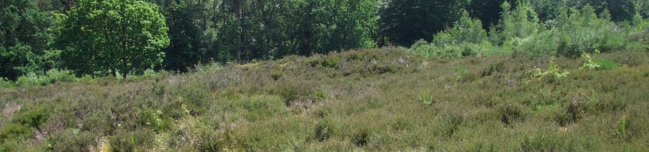 Heidelandschaft auf dem Buckelgräberfeld bei Boltersen
