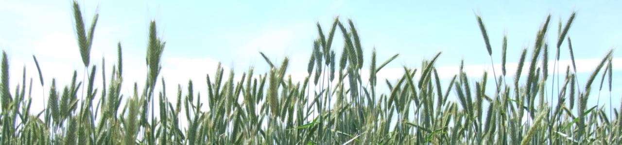 Getreidefeldrand von unten gegen den Himmel fotografiert